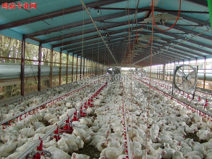 节前腊月15上817鸡苗行情会怎么样