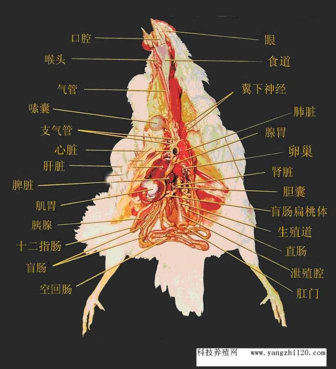 肉鸡内脏分布图?