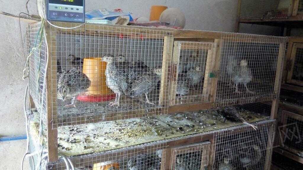 小型養殖場建發酵床育雛室可行嗎? - 養雞設備/雞舍