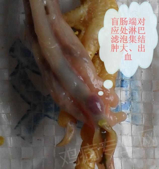 盲肠端对应之淋巴滤泡外观_看图王.jpg