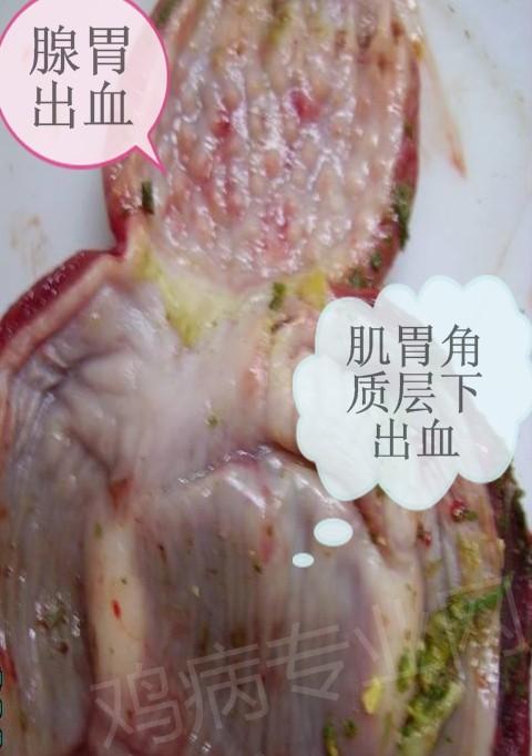 新城疫腺胃出血、肌胃下出血_看图王.jpg