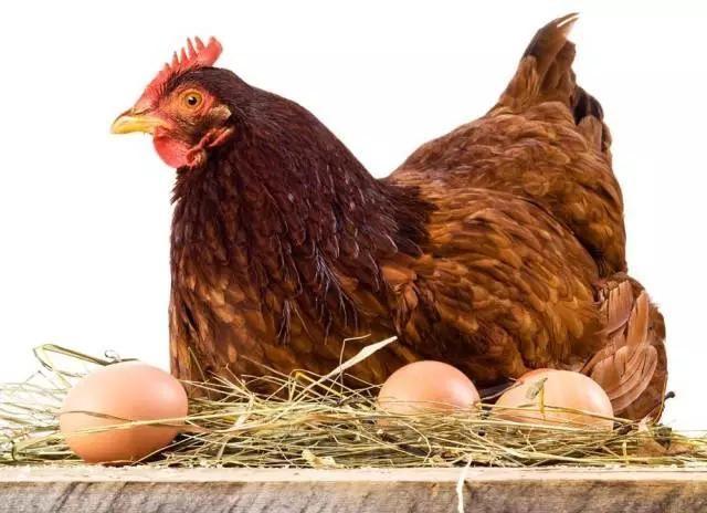 教你识别这些光吃饭不下蛋的母鸡图片