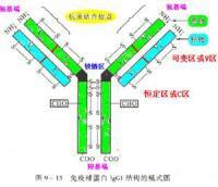 免疫球蛋白.jpg