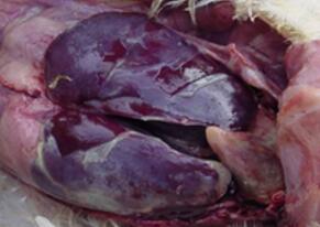 大肠肝菌2.jpg