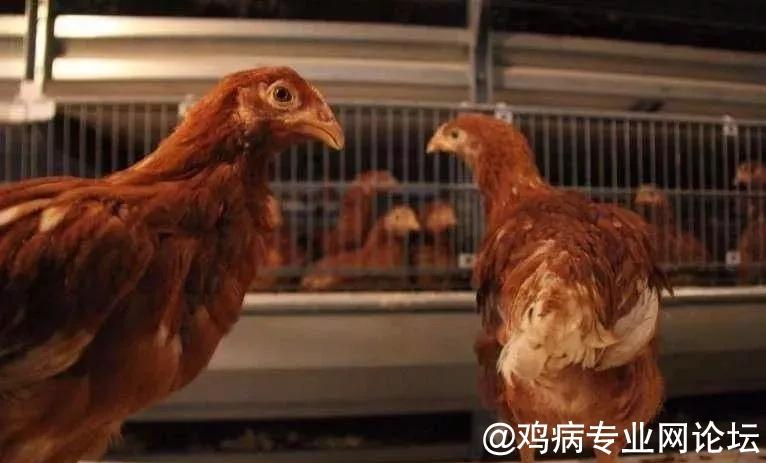 青年鸡图片.webp.jpg