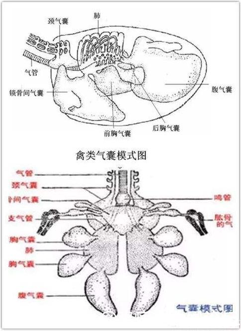 鸡气囊分布图.jpg