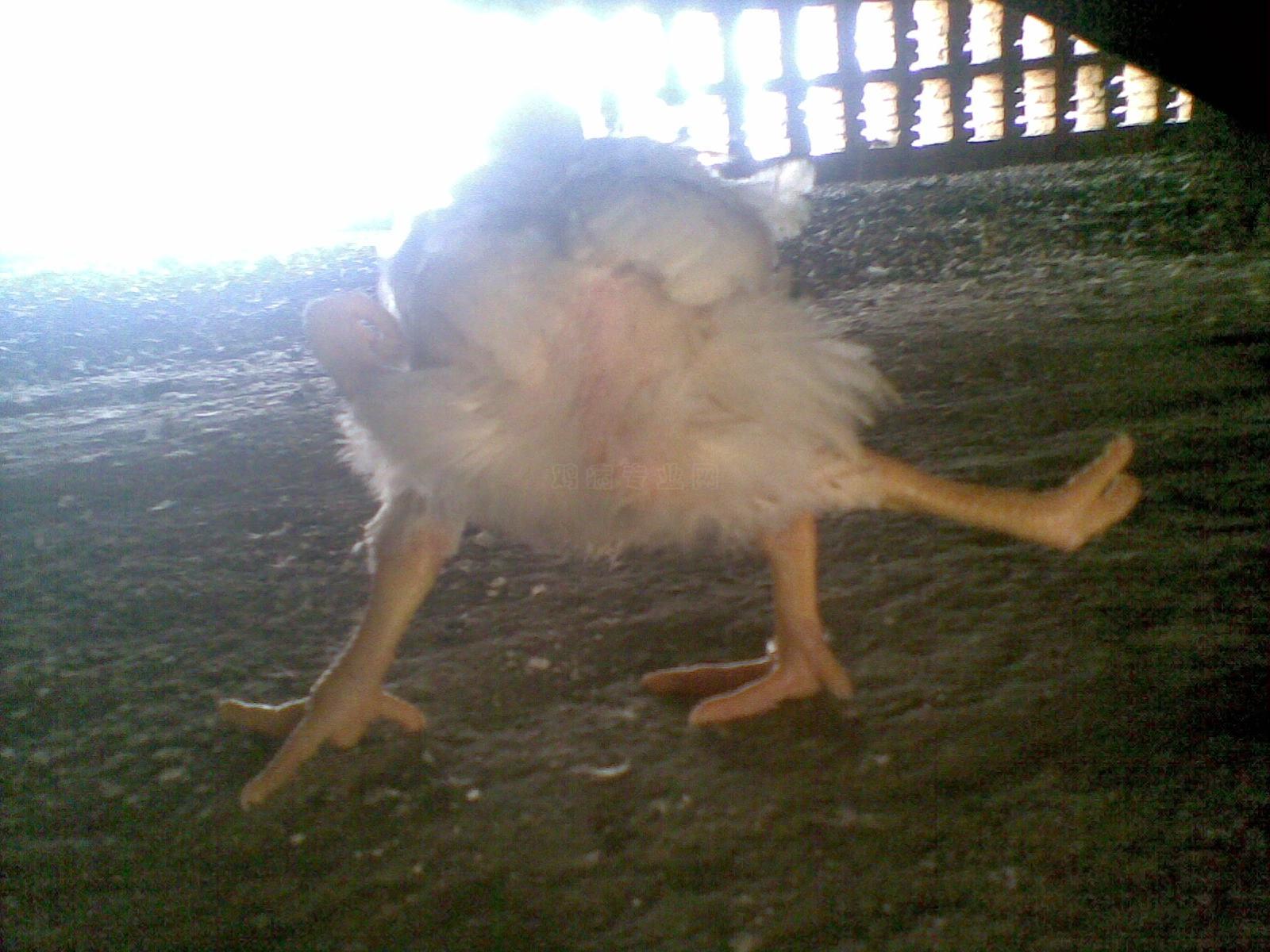 看四条腿的鸡