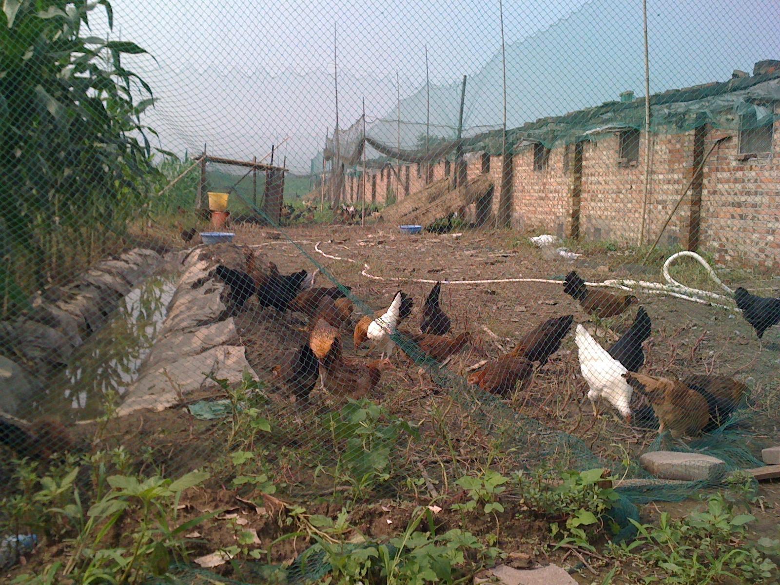 鸡场一角 高清图片