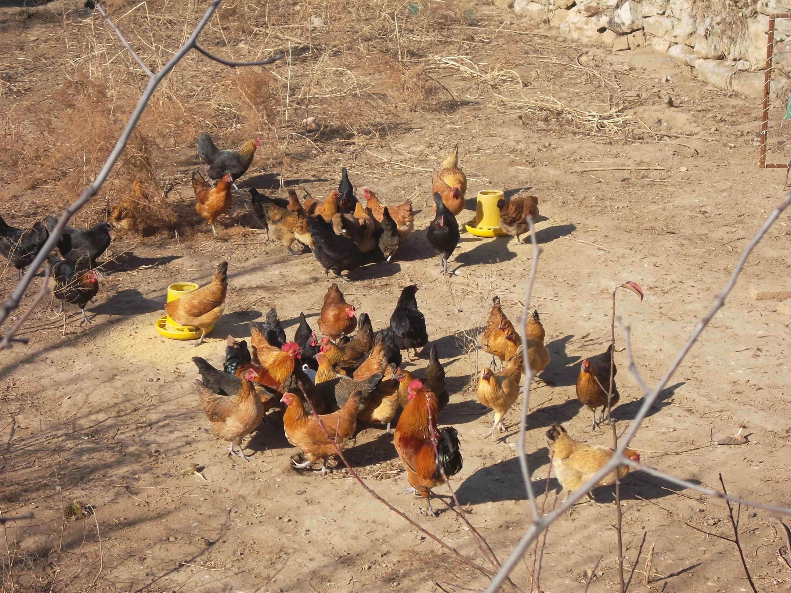 200天母柴鸡产蛋率不高
